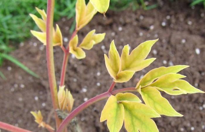 пионы-желтые-листья.