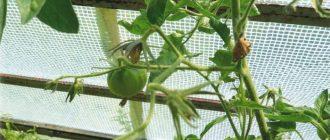 Почему осыпается завязь на помидорах в теплице, как бороться