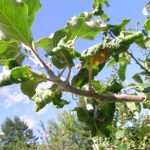 Почему скручиваются листья у яблони, как бороться