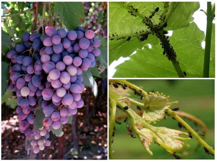 тля-на-винограде