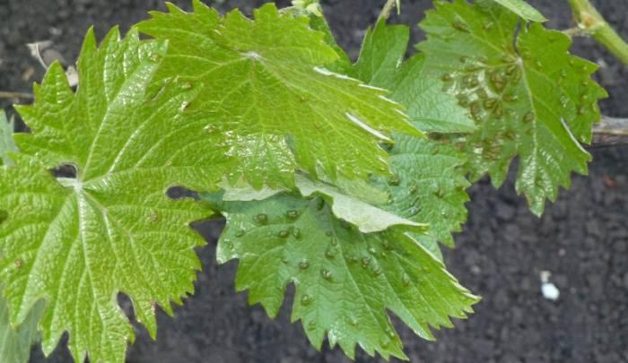 виноградный-клещ