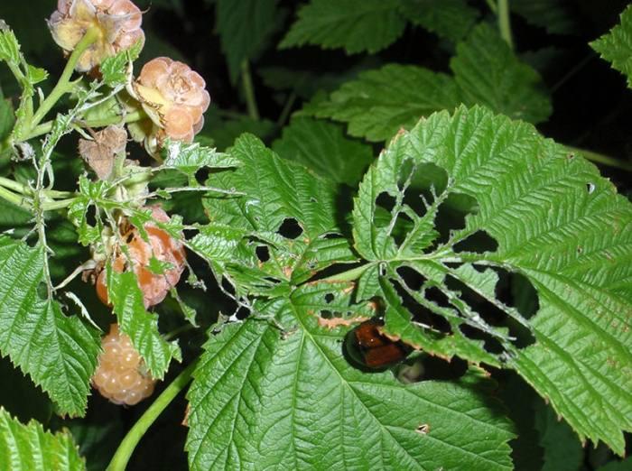 Почему листья малины в дырочку, что делать