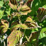Скручиваются листья у малины, что делать