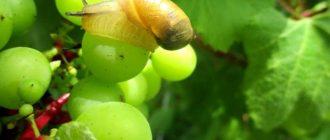 Как избавиться от улиток на винограде