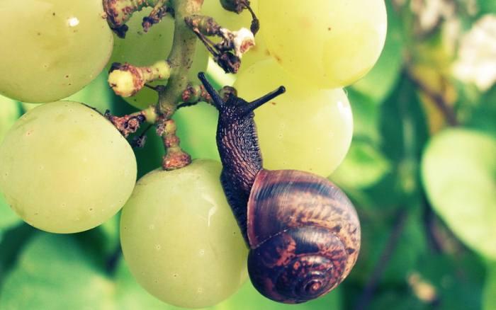 улитка-на-винограде