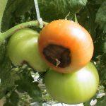 Вершинная гниль на помидорах: причины появления, как бороться?