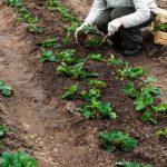 Когда сажать клубнику осенью 2020 года: благоприятные дни по лунному календарю