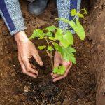 Когда сажать виноград осенью 2019 года: благоприятные дни по лунному календарю