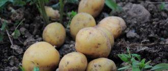 Уборка картофеля: сроки и способы хранения
