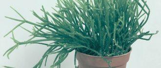 Рипсалис - интересный сорт кактуса. Подробное описание, уход и советы.