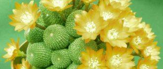 Сорт кактуса: Ребуция - красивое комнатное растение. Описание, уход, советы.