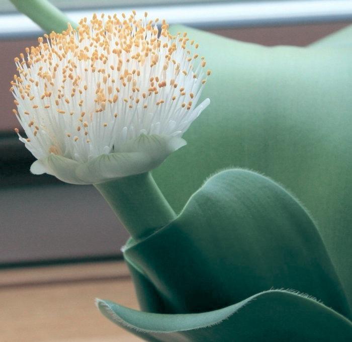Гемантус - красивое комнатное растение. Описание, уход и советы.