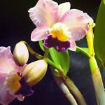 Каттлея: виды и уход за ней в домашних условиях