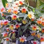 Орхидея Дендробиум: уход в домашних условиях