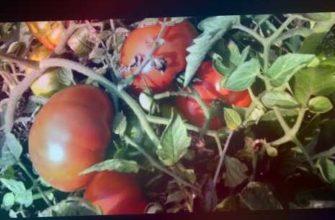 томат марманде, #дачный сезон круглый год, дачный сезон круглый год, #сорта томатов 2019, #сорта томатов для открытого грунта, какие помидоры буду сажать обязательно, #мой выбор сорта томатов 2019, самые урожайные сорта помидоров