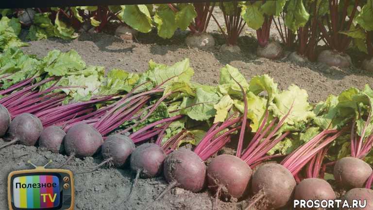 семена, урожай, полезное тв, посев свеклы, свёкла, svekla, как посадить свеклу, сроки посадки свеклы