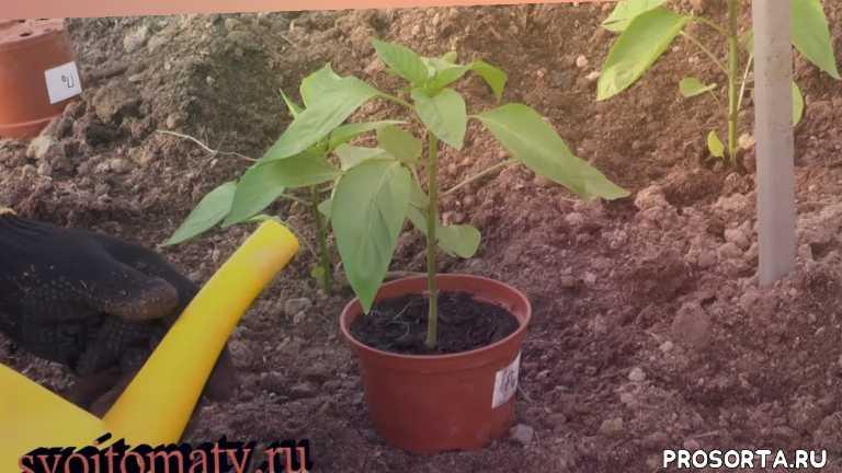 урожай перцев, выращивание перцев, высадка перца в грунт