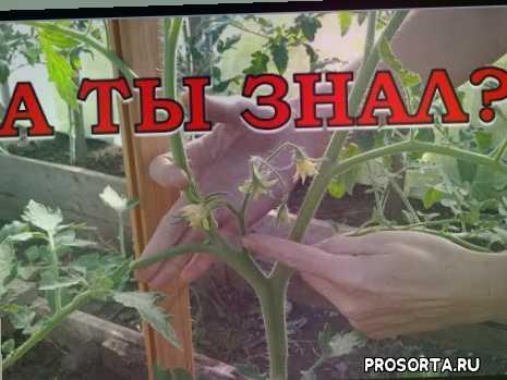 формирование томатов +в два стебля видео, стебель помидор, теплица подвязка помидор, подвязка помидор, рассада томатов +в теплице, томат посадка, томат открытый грунт, томаты +в теплице