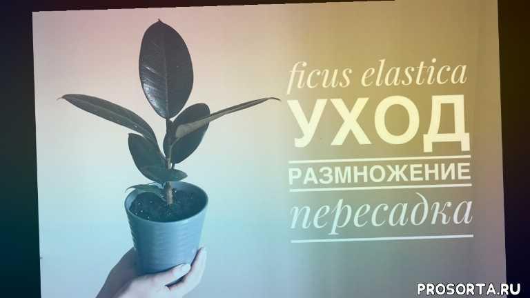 как заставить фикус ветвиться, ficus robusta, ficus elastica, ficus, rubber tree, обрезка фикуса, формирование фикуса, как размножать фикус