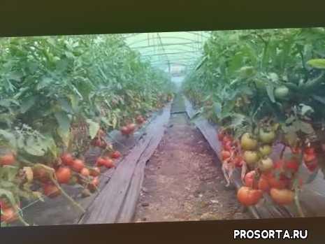 теплицы, красный томат, махитос, агилис, томат