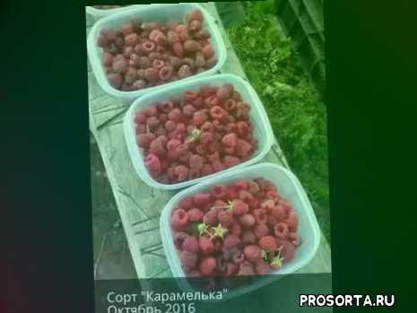 как ухаживать за ремонтантной малиной, видео про малину, урожай 2016, отличный урожай, малина в октябре, урожай в октябре, самая крупная малина, купить саженцы