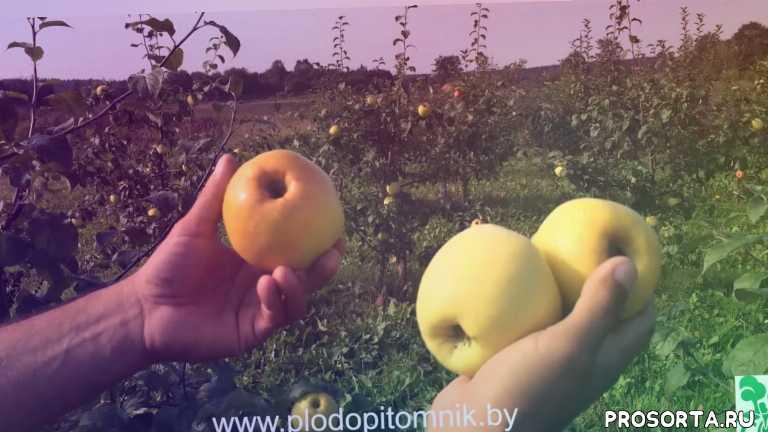 саженцы яблонь, антоновка фунтовка, яблоня антоновка, антоновка, яблоня