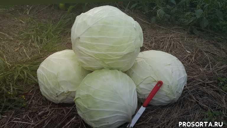 лучший сорт для закваски капусты, огород, дача, квашенная капуста, капуста для закваски, белокочанная капуста, белокочанная капуста славия, капуста славия