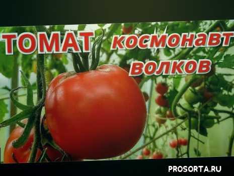 томат космонавт волков, лучшие сорта томатов, томаты в августе, крупноплодные томаты, томаты2020, томаты в июле, обзор томатов, гибриды томатов