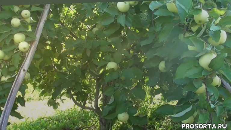 белый налив, яблоня