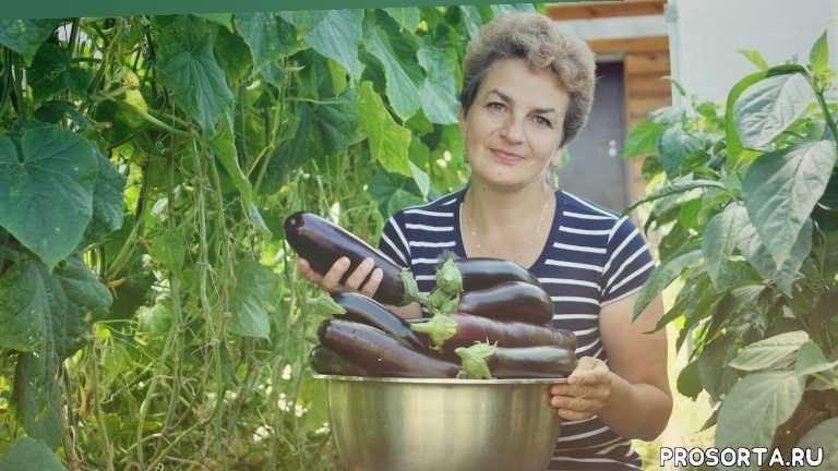 как сажать баклажаны, садовый мир, наталья петренко, удобрения для баклажанов, паутинный клещ на баклажанах, как подкармливвать баклажаны, баклажаны в теплице, как выращивать баклажаны