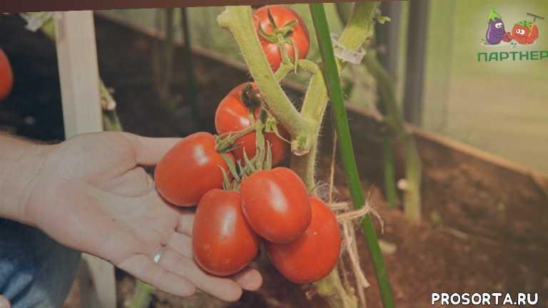 семена партнер, агрофирма партнер, урожайные помидоры для теплицы, помидоры в теплицу, сливовидные помидоры, помидоры для засолки, великосветский, семена