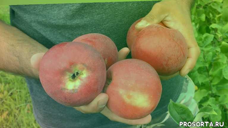 питомник растений сад, плодопитомник, сорта яблок, сорта яблонь, яблоня осеннее полосатое, яблоня штрейфлинг, яблоня штрифель