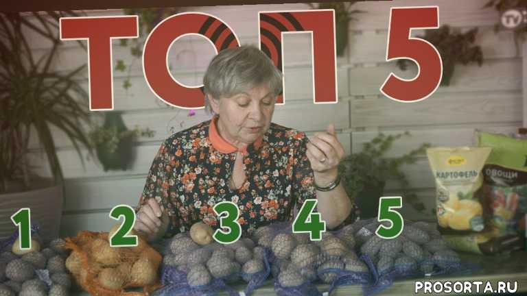 картофель удача, hitsad, полезные советы, канал хитсад, картошка сорт, картофель характеристика, картофель описание, семенной картофель