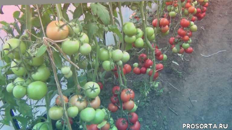 5 лучших сортов томатов, адонис, самые сладкие томаты, самые урожайные томаты, лучшие томаты, новинки, сибирь, улан-удэ