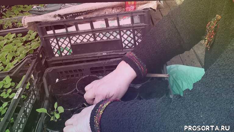 комнатные расте, minyaeva, грунт, галина старосельцева, дачные советы, во саду ли в огороде, выращивание, советы дачникам