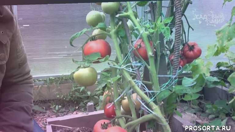 food (tv genre), tomato (food), вкусные помидоры, выращивание томатов, устойчивые сорта томатов, сорта томатов