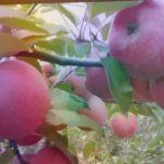 Сорт яблони ФЛОРИНА, имунный к ПАРШЕ