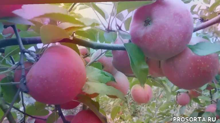 урожай, обрезка яблони, питомник, купить, саженцы, сада, обработка, фунгицид
