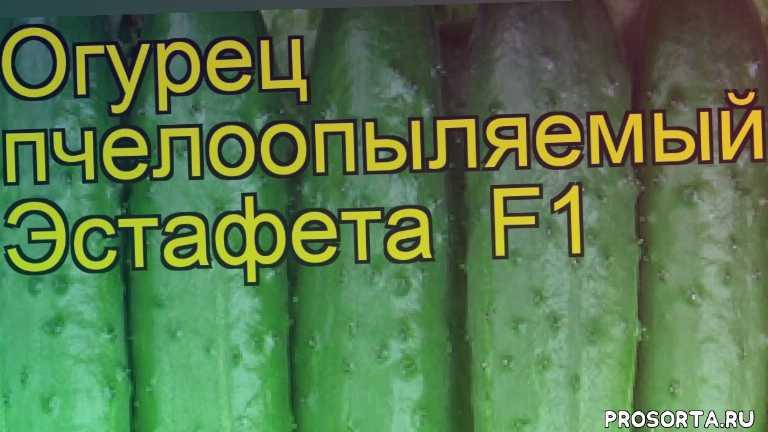 огурец эстафета какие растения сажают рядом, огурец эстафета посадка и уход, огурец эстафета уход, огурец эстафета посадка, огурец эстафета отзывы, где купить семена огурец эстафета, купить семена огурца эстафета, семена огурец эстафета