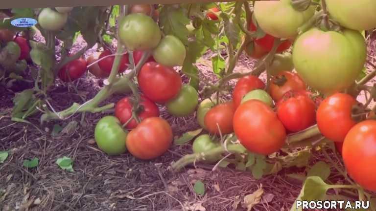 сад огород своими руками, как выращивать, выращивание, низкорослые помидоры, томаты, помидоры