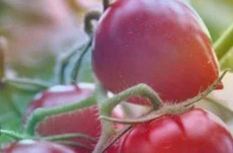 выращивания, супер метод, советы ограномов, агротехника уход за томатами, характеристика и описание описание сорта томата кемеровец, томат кемеровец
