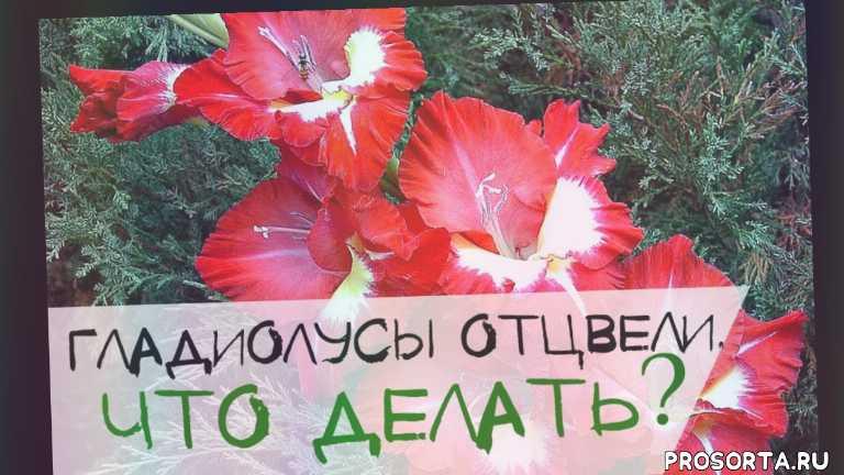 как ухаживать за гладиолусами?, гладиолусы на даче уход, уход за гладиолусами после цветения, цветы, отцвели гладиолусы, потому что гладиолус, гладиолусы, что делать после того как отцвели гладиолусы?