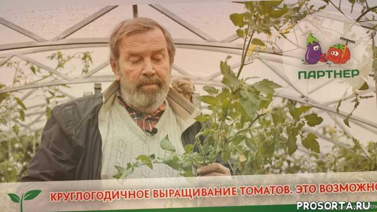 выращивание томатов, купить семена, голова садовая, семена партнер, урожайная грядка, семена, блокин-мечталин, семена партнер