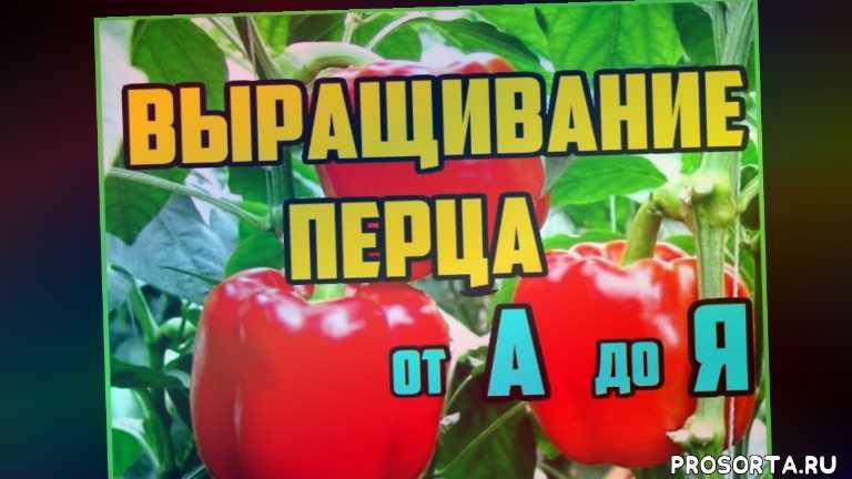 рассада перца, когда садить перец на рассаду, картошка, картофель, баклажаны, капуста, огурцы, помидоры
