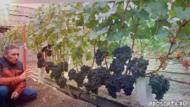 белоруский виноград, попченко виноград, виногряд в беларуси, северный виноград, северное виноградарство, кодрянка, сорт винограда