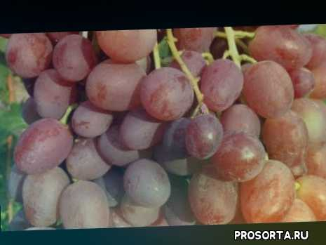 Виноград Ливия 2018 (Панченко)