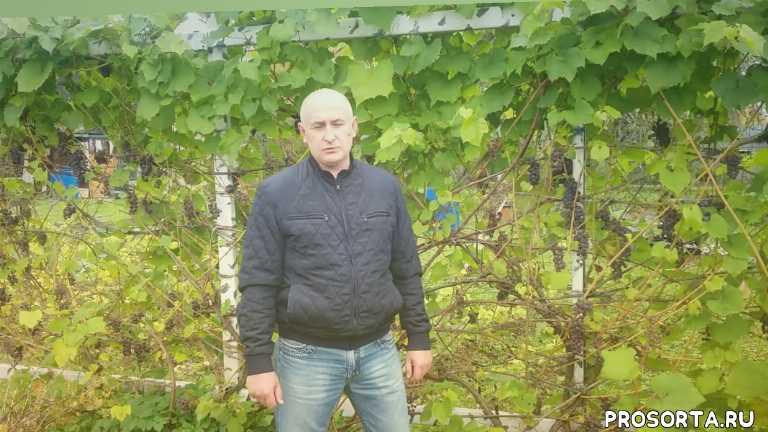 В каком месяце обрезать и укрывать виноград в Подмосковье осенью