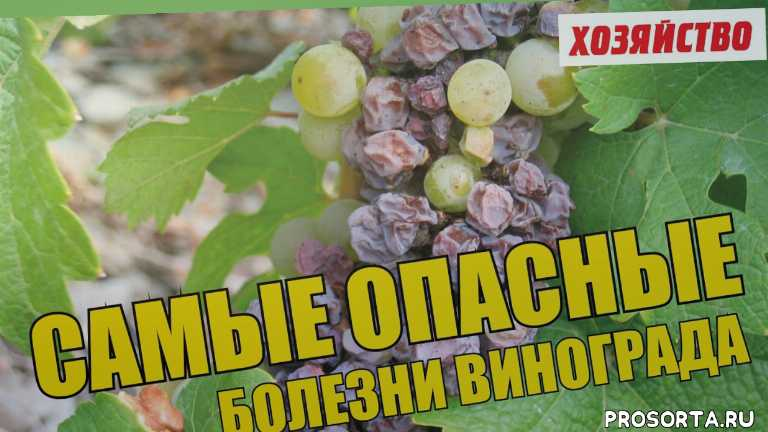 краснуха, топаз, квадрис, тилт, фалькон, гниют ягоды на винограде, оидиум на ягодах, защита винограда