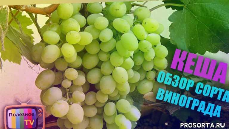 саженцы винограда, виноградник, лучший сорт винограда, виноград видео, лучшие сорта винограда, виноград, сорт винограда, виноград кеша отзывы