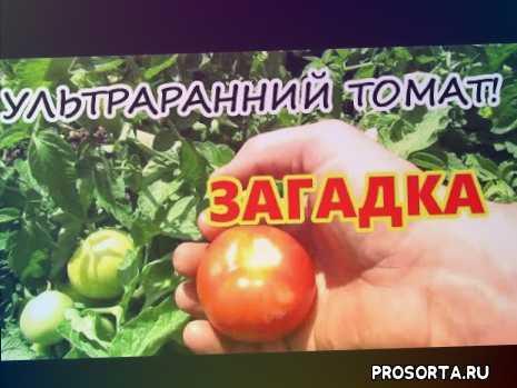 ранний помидор, загадка помидор, ультраранний томат, огурцов., сорта, подкормка., помидоры., огурцы.